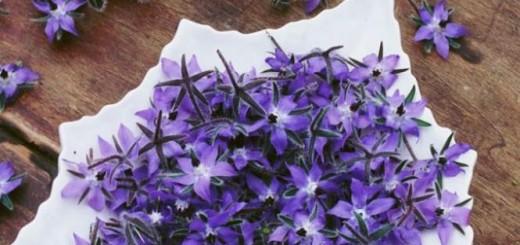 Fleurs de bourraches à déguster : des fleurs qui se mangent - E. Brenckle - Rustica - Le Bois Pinard - Marie Marcat